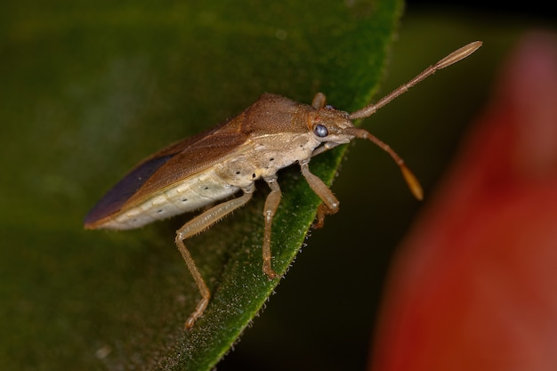 Adult leaf-footed bug of the subfamily coreinae