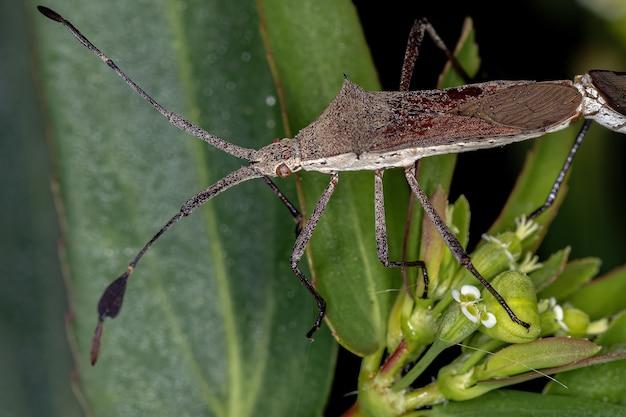 Chariesterusカップリング属の成虫ヘリカメムシ