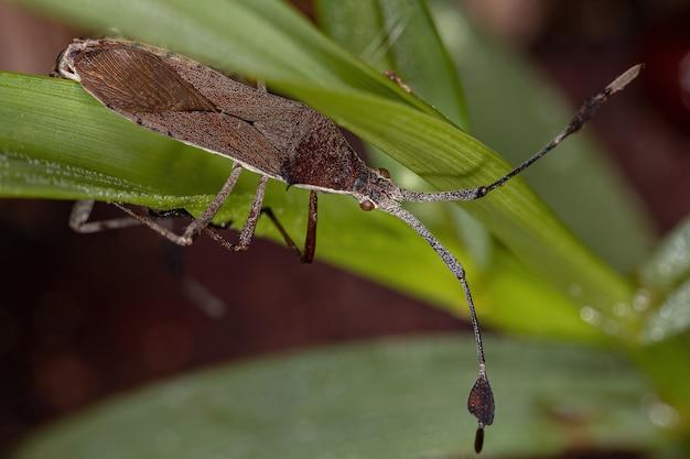 Chariesterus 커플링의 성충 잎발벌레