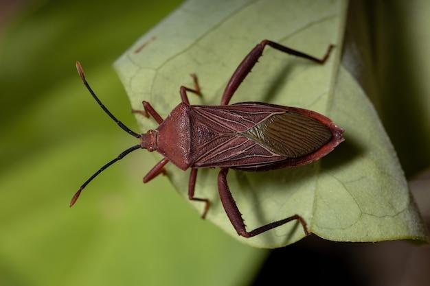 Adult leaffooted bug of the species athaumastus haematicus