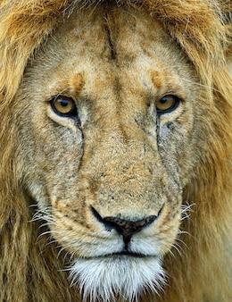 Adult lion in the african savannah kenya