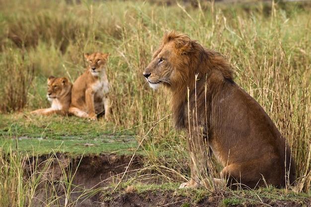 Сидящий взрослый лев и две львицы, вид сбоку Premium Фотографии