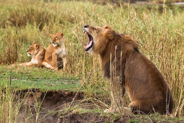 Взрослый лев зевая и две львицы, вид сбоку Premium Фотографии