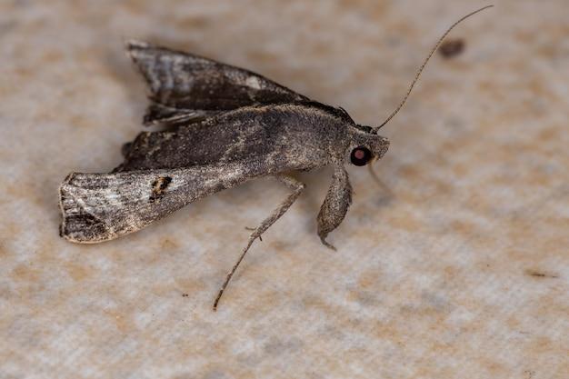 Взрослая пометная бабочка из рода palthis