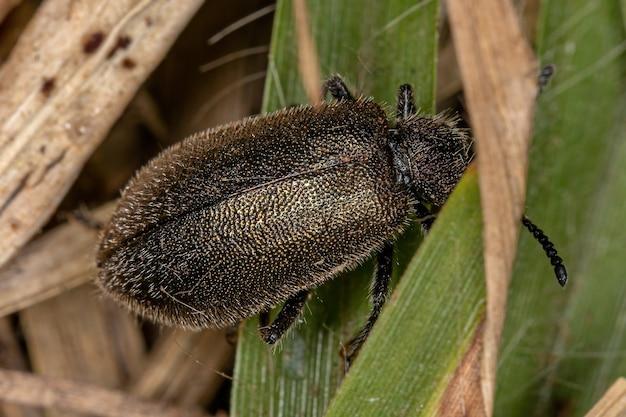 Lagria villosa 종의 성충 장관절 딱정벌레