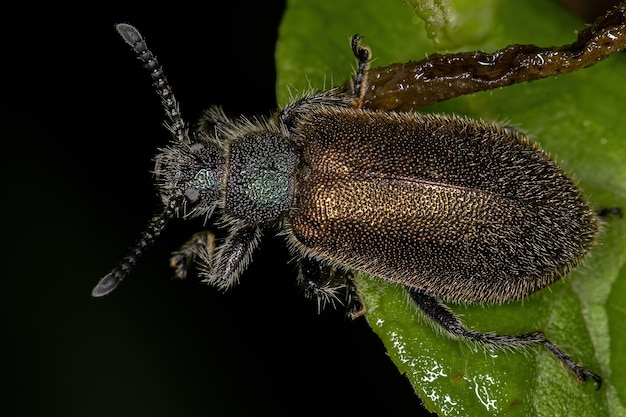Adult long-jointed beetle of the species lagria villosa