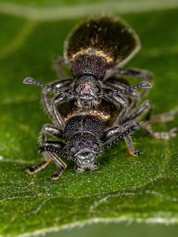 Взрослые длиннозубые жуки вида lagria villosa сцепление