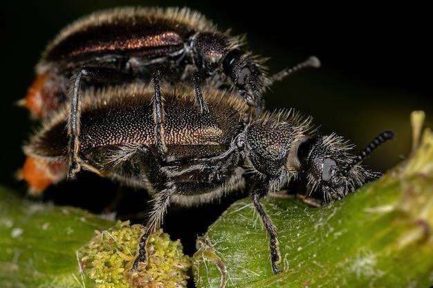 Lagria villosa 커플링 종의 성충 장관절 딱정벌레