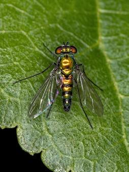 Adult long-legged fly of the family dolichopodidae