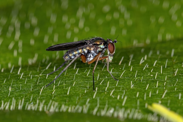 Dolichopodidae의 성인 긴 다리 파리