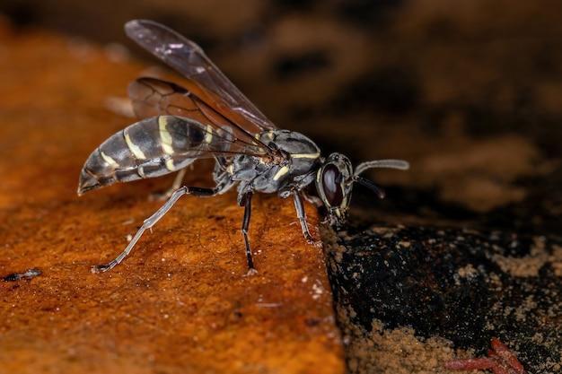 강에서 물을 마시는 아속 myrapetra의 성인 긴 허리 꿀 말벌