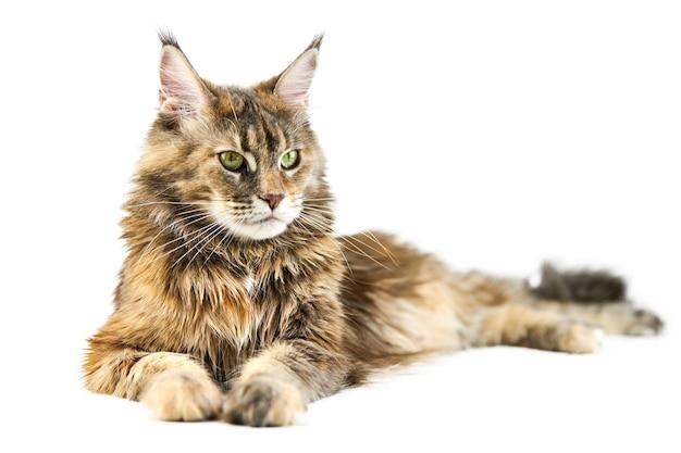 Взрослый кот мейн-кун, изолированный. симпатичная черепаховая кошка мейн-куна на белом