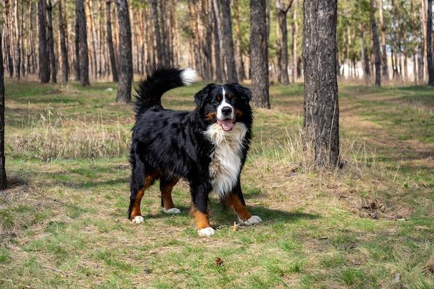 Взрослый самец бернской горной собаки на свежей зеленой траве