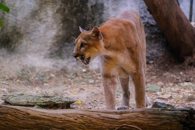 Взрослый самец cougar (puma concolor)