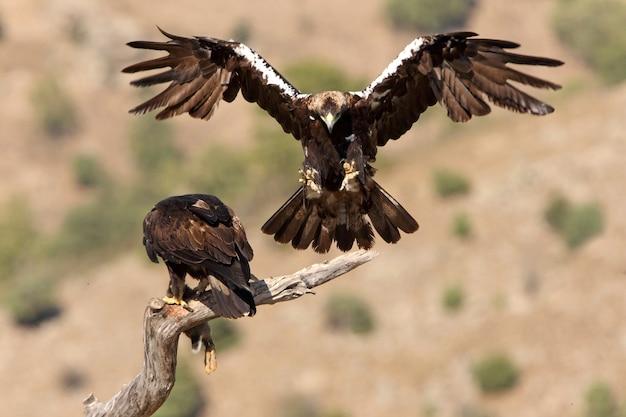 Adult male and female of spanish imperial eagle, aquila adalberti