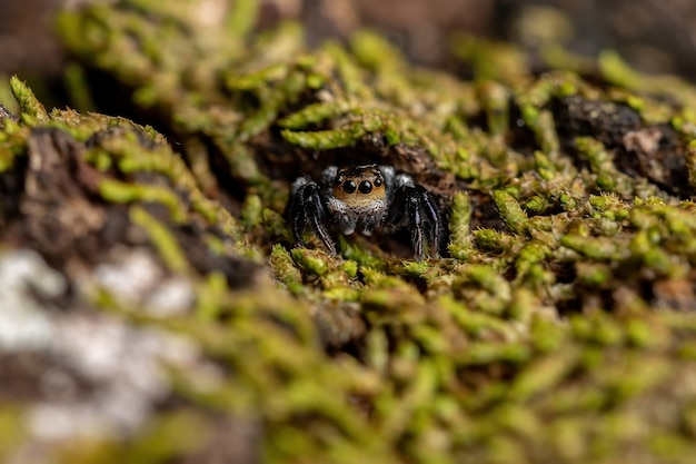 Adult male jumping spider of the genus corythalia on a trunk filled with moss species specialized in predating ants