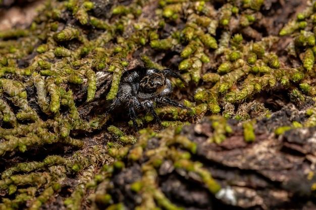 アリの捕食に特化したコケ種で満たされたトランク上のcorythalia属の成体のオスのハエトリグモ