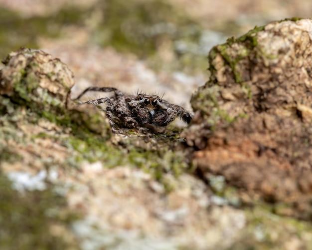 木の幹にあるplatycryptusmagnus種の成体のオスのハエトリグモ
