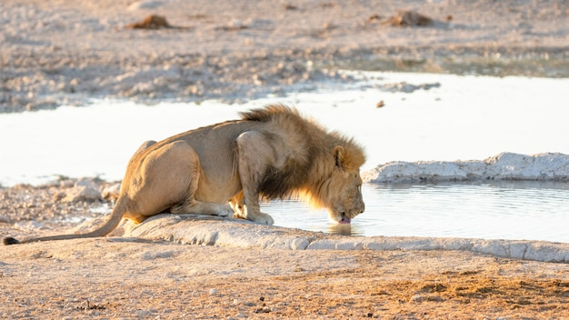 Adult male lion drinking water from a water hole in etosha national park, namibia