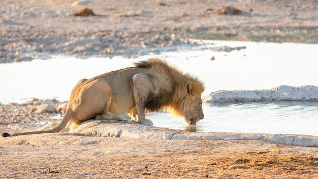 Acqua potabile del leone del maschio adulto da un foro di acqua nel parco nazionale di etosha, namibia