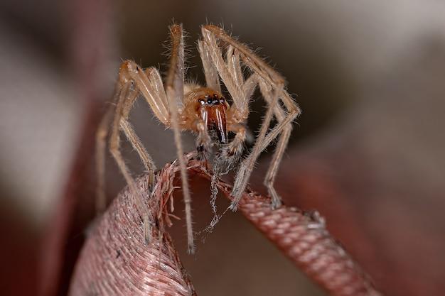 Adult male longlegged sac spider of the genus cheiracanthium