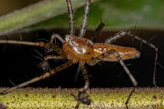 Peucetia 속의 성체 수컷 스라소니 거미