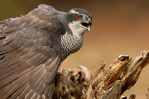 Adult male of northern goshawk early morning