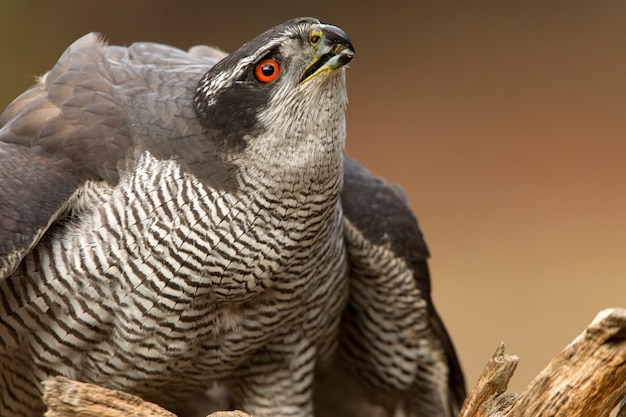 Adult male of northern goshawk with the last lights of the afternoon