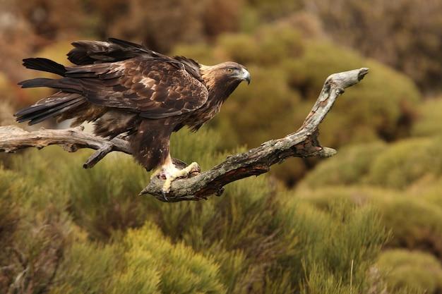 Взрослый самец золотого орла