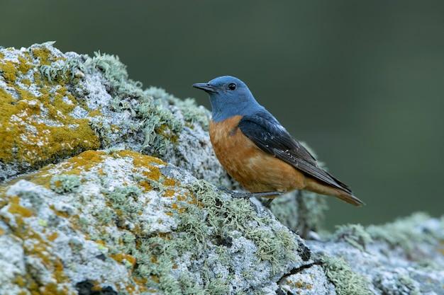 Взрослый самец обыкновенного каменного дрозда на территории размножения с гнойным оперением на первых светах