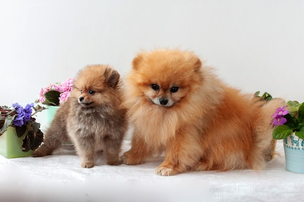An adult male and an orange pomeranian puppy stand against a background of pink and lilac violets on a white background, the puppy looks away.