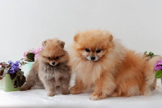 An adult male and an orange pomeranian puppy stand against background of pink and lilac violets