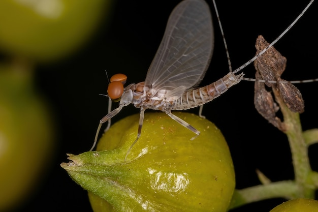 Adult male prong-gilled mayfly of the family leptophlebiidae