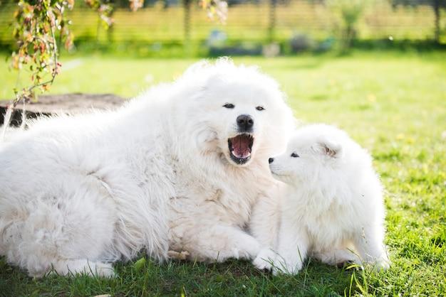 Взрослый самец самоедской собаки с щенками гуляют по траве