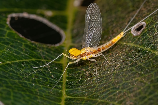 Adult male small mayfly of the family baetidae