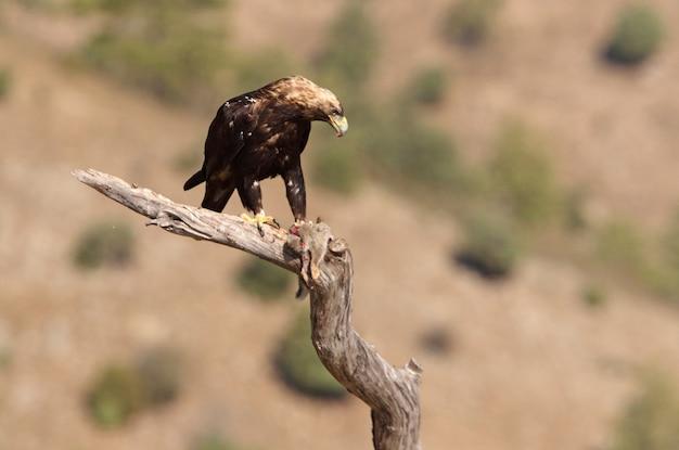 Взрослый самец испанского имперского орла с недавно пойманным кроликом. акила адальберти