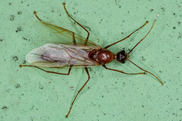 Adult male winged carpenter ant of the genus camponotus