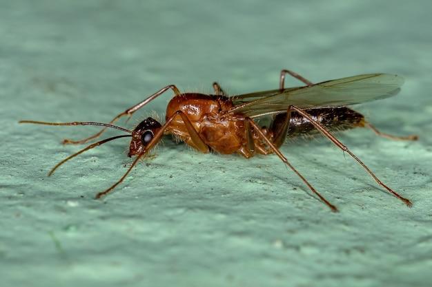 Camponotus 속의 성인 남성 날개 달린 목수 개미