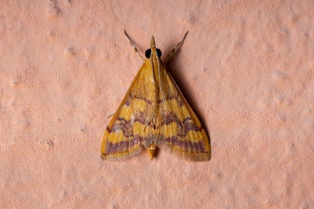 Adult mint moth of the genus pyrausta