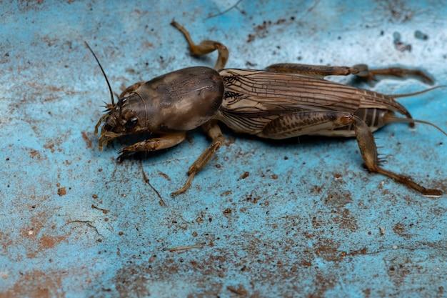Adult mole cricket of the genus neoscapteriscus