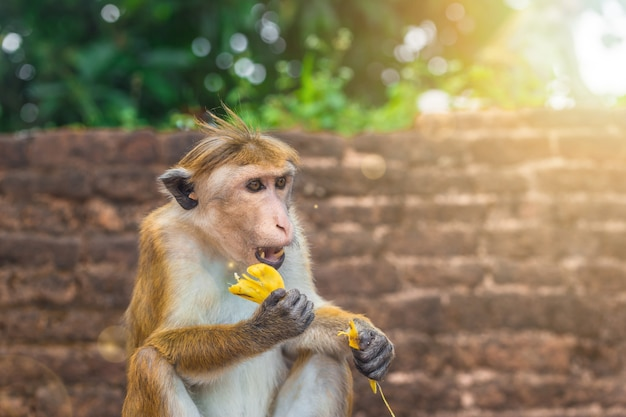스리랑카 숲에서 바나나 과일을 먹고 앉아있는 성인 원숭이