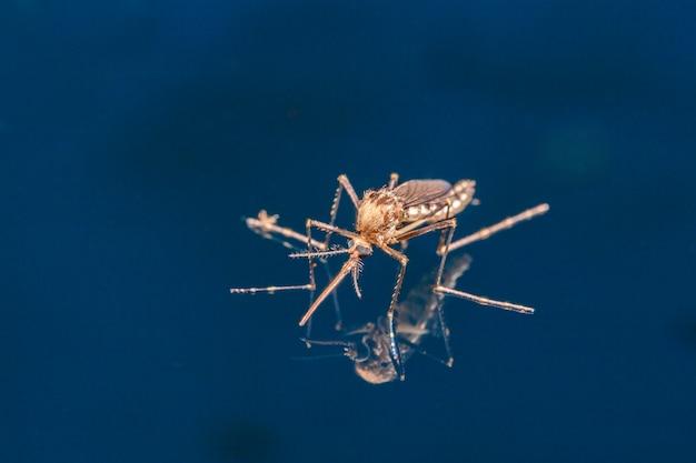 水の上で大人の蚊-新生昆虫双翅目