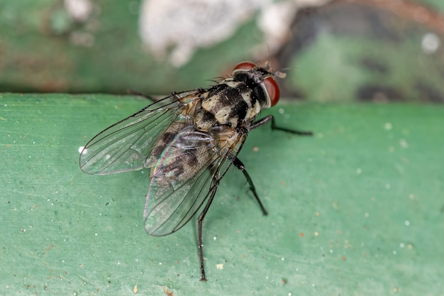Adult muscoid fly of the superfamily muscoidea