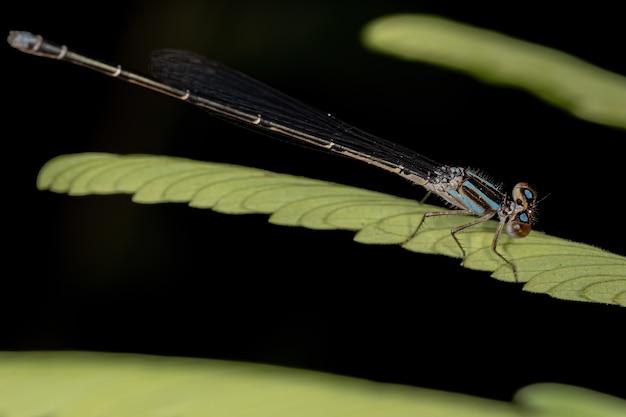 Adult narrow-winged damselfly of the family coenagrionidae