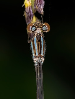Coenagrionidae科の成虫イトトンボ