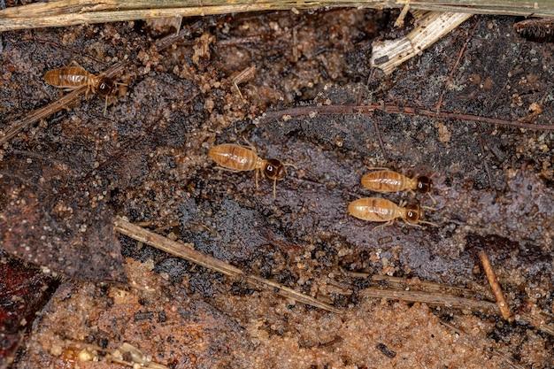 Nasutitermes属の成虫nasuteシロアリ
