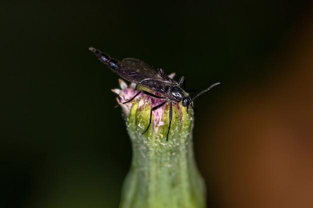 Adult nematoceran fly of the suborder nematocera