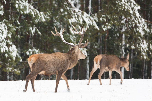 Adult noble deer with big beautiful horns with snow near winter forest.