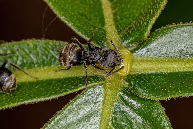 Adult odorous ant of the species dolichoderus bispinosus eating on the extrafloral nectary of a plant