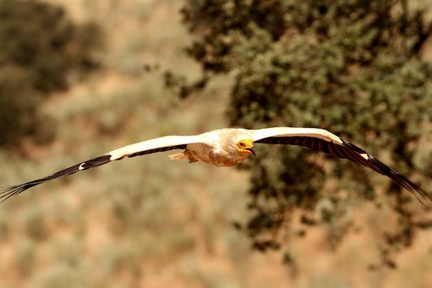 Взрослый летающий египетский гриф